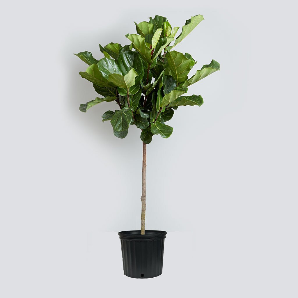 Fiddle Leaf Fig Live Tree - About 42'' Tall - Beautiful! - Ficus Lyrata Tree - Florist Quality by Florida Foliage