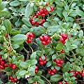 Seeds for Lingonberry   Vaccinium Vitis idaea   Amkha Seed