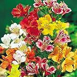 Peruvian Lily 20 Seeds Peruvian Lily Mix (Alstroemeria) Flower Seeds-perennial