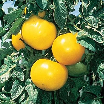"(VTOH)~""LEMON BOY""~TOMATO~Seeds!!~~~~~Low Acid Heirloom! : Tomato Plants : Garden & Outdoor"