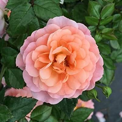 1 Gallon Plant Apricot Drift Rose Shrub Plants Roses Groundcover Outdoor Gardening tktreas : Garden & Outdoor