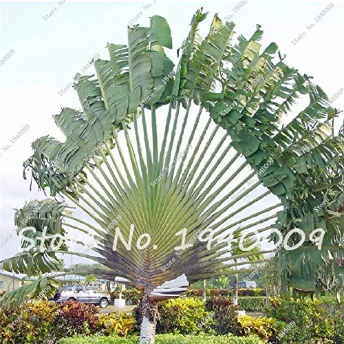Semillas de bonsai raras Semillas de palmera gigante, Semillas de plantas tropicales, Planta de follaje de flores, Planta en maceta para el jardín de su casa 50 piezas/bolsa: Amazon.es: Jardín