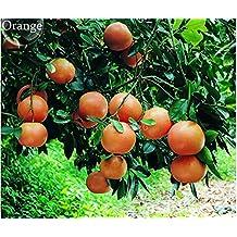 The Best Seller 100% Genuine Heirloow Sugar Sweet Orange Fruits, 20 Seeds, tasty juicy perennial orange tree .