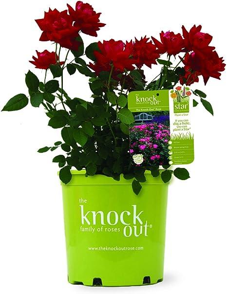 Red Double Knockout Rose Live Plant Quart Pot