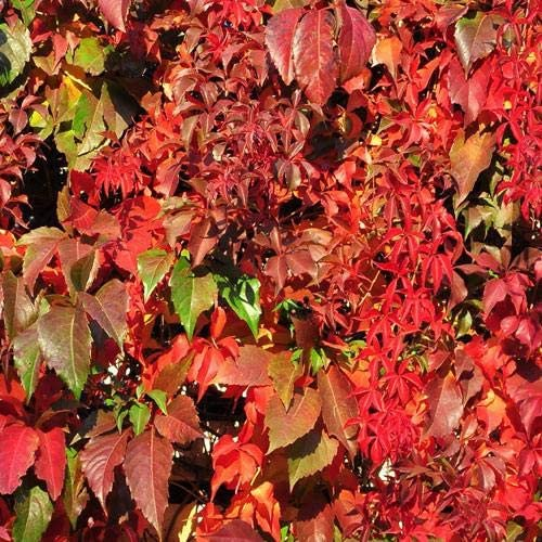 Wafer Virginia Vine Creeper 25 Seeds PER Pack Parthenocissus Quinquefolia