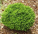 True dwarf English Boxwood buxus sempervirens suffruticosa the dwarf English Boxwood is so versatile that it can be combined with virtually any color palette you choose. Often used to highlight features in gardens like statues or fountains, d...