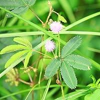 Mimosa, semillas de plantas sensibles - Mimosa pudica - 34 semillas