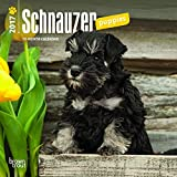 Schnauzer Puppies 2017 Mini 7x7