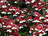 Home Comforts Canvas Print Blossom Nemesia Strumosa White Bloom Flower Red Stretched Canvas 10 x 14