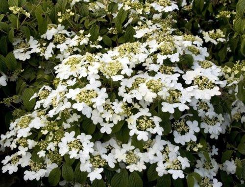 Summer Snowflake Viburnum - 2.5