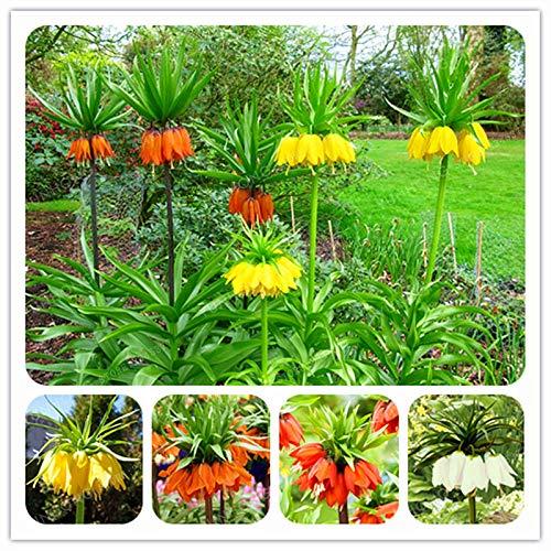 (Crown Imperial Bonsai Wang Bonsai Easy to Grow Home Ground Cover Plant See Rare Plant Bonsai Easy Grow 30pcs )