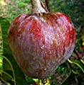 Red Custard Apple Tree (10 Seeds) AKA Bullock's Heart, Jamaican Apple ! Rare