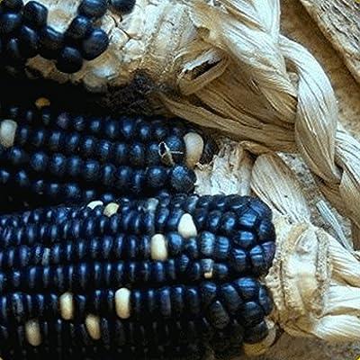 Everwilde Farms - Organic Hopi Blue Improved Ornamental Corn Seeds - Gold Vault