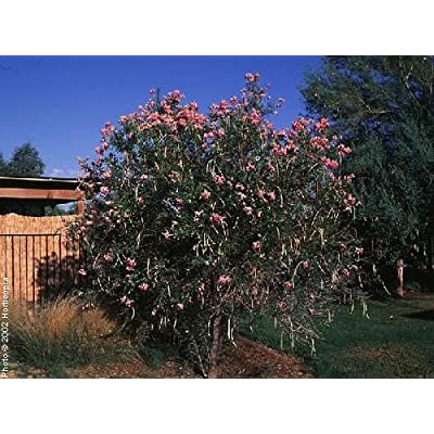3 Desert Willow Seeds/ : Garden & Outdoor