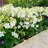 Nicotiana Alata white Jasmine Tobacco fragrant seeds