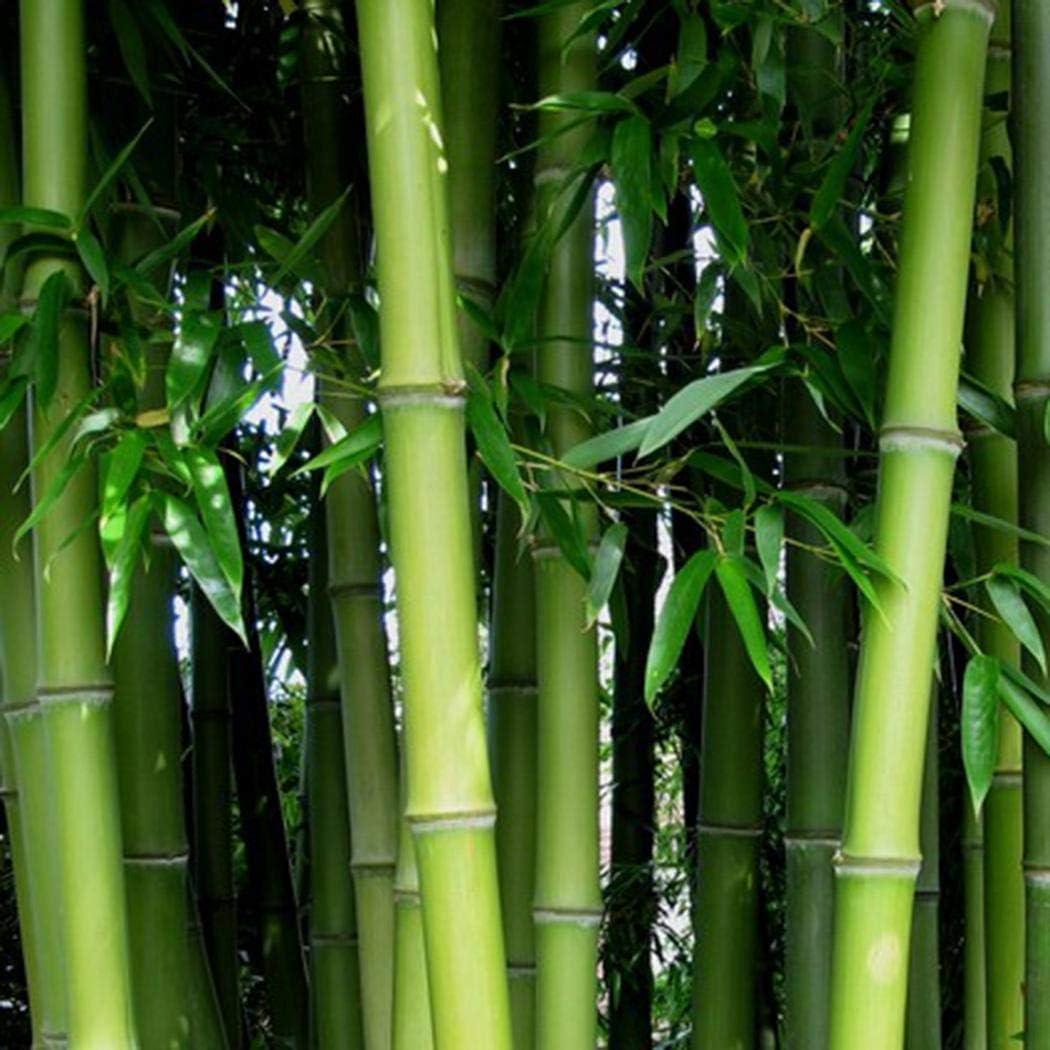 Soteer Seed House - Bamboo Gigante China Moso Bamboo (Phyllostachys edulis/pubescens) Semillas ornamentales de invierno resistentes y coloridas para su jardín y hogar: Amazon.es: Jardín