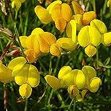 Everwilde Farms - 1/4 Lb Bird's Foot Trefoil Wildflower Seeds - Gold Vault