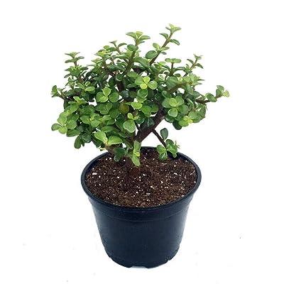 "AchmadAnam - 6"" Pot - Spekboom Miracle Plant - Mini Jade Plant - Portulacaria afra : Garden & Outdoor"