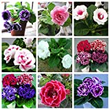 SALE! 9 Colors Can Be Choose Gloxinia Seeds Perennial Flowering Plants Sinningia Speciosa Bonsai Balcony Flower - 100 PCS
