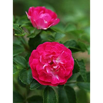 1 Plant Red Knock Out Rose EarthKind 2 Gallon Plant Shrub Roses Outdoor Gardening tktreas : Garden & Outdoor