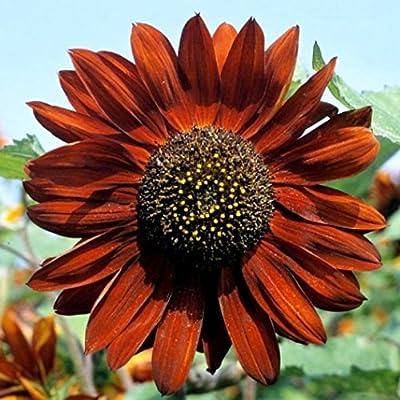 David's Garden Seeds Sunflower Tall Branching Stem Velvet Queen SL5311 (Red) 50 Non-GMO, Open Pollinated Seeds : Flowering Plants : Garden & Outdoor