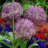 5 ALLIUM CHRISTOPHII BULB STAR OF PERSIA CORM AUTUMN GARDEN SPRING PURPLE FLOWER