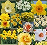 Daffodil - Spring Surprise Pack - 12 bulbs