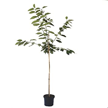 Lamela/ cm E5/wei/ß /Begonia Rattan Blumenkasten 19/x 56/x 19.5h