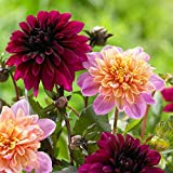 6 Bulbs Dahlia Anemone Purple Haze/ Lifestyle