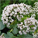 Package of 450 Seeds, Common Valerian (Valeriana officinalis) Non-GMO Seeds by Seed Needs