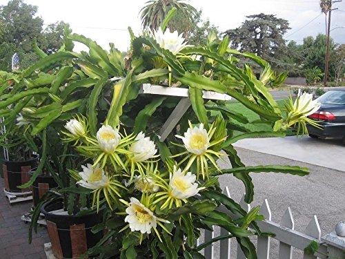 Dragon Fruit Tree White Flesh -1 to 2 Feet Tall Ship in 1 Gal Pot 1 Plants