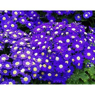 Solution Seeds Farm Rare Hierloom Hybrid F1 Dark Purple Florist's Cineraria (Pericallis hybrida), 40 Seeds, High germination 100% True Colors : Garden & Outdoor