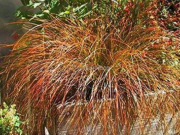 Bronze Segge Ziergras - Carex testacea Prairi Fire - verschiedene ...