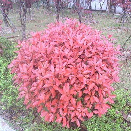 Nuevo hogar jardín de plantas 10 Semillas Photinia serrulata ...