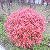 New Home Garden Plant 10 Seeds Photinia Fraseri Frasery Serrulata Red Robin Tipluohu Flower Seeds