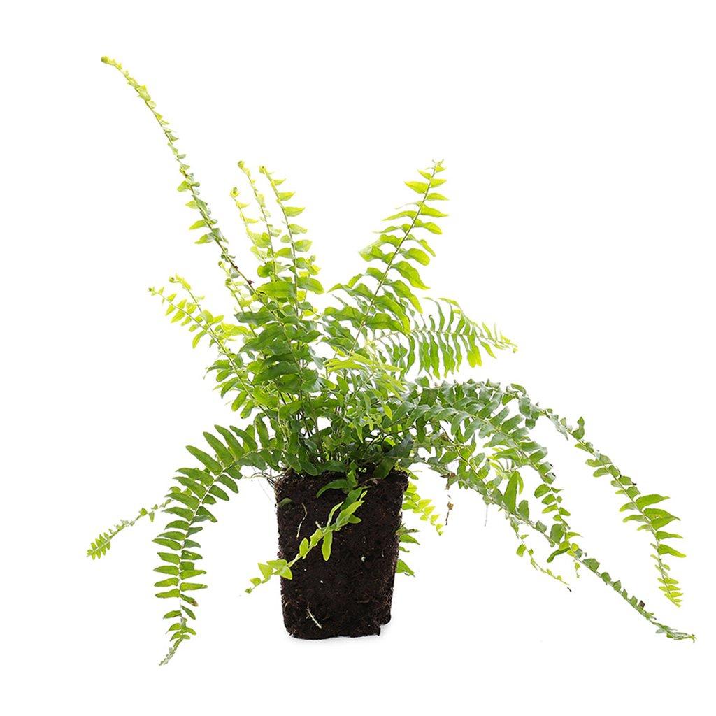 "Picture of Live Boston Fern aka Nephrolepis exaltata Plant Fit 4"" Pot"