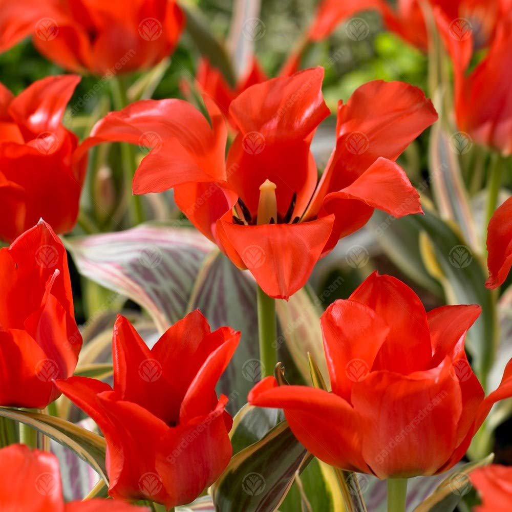 Tulip Fire of Love Early Spring Flowering Garden Bulbs (5 Bulbs) GardenersDream