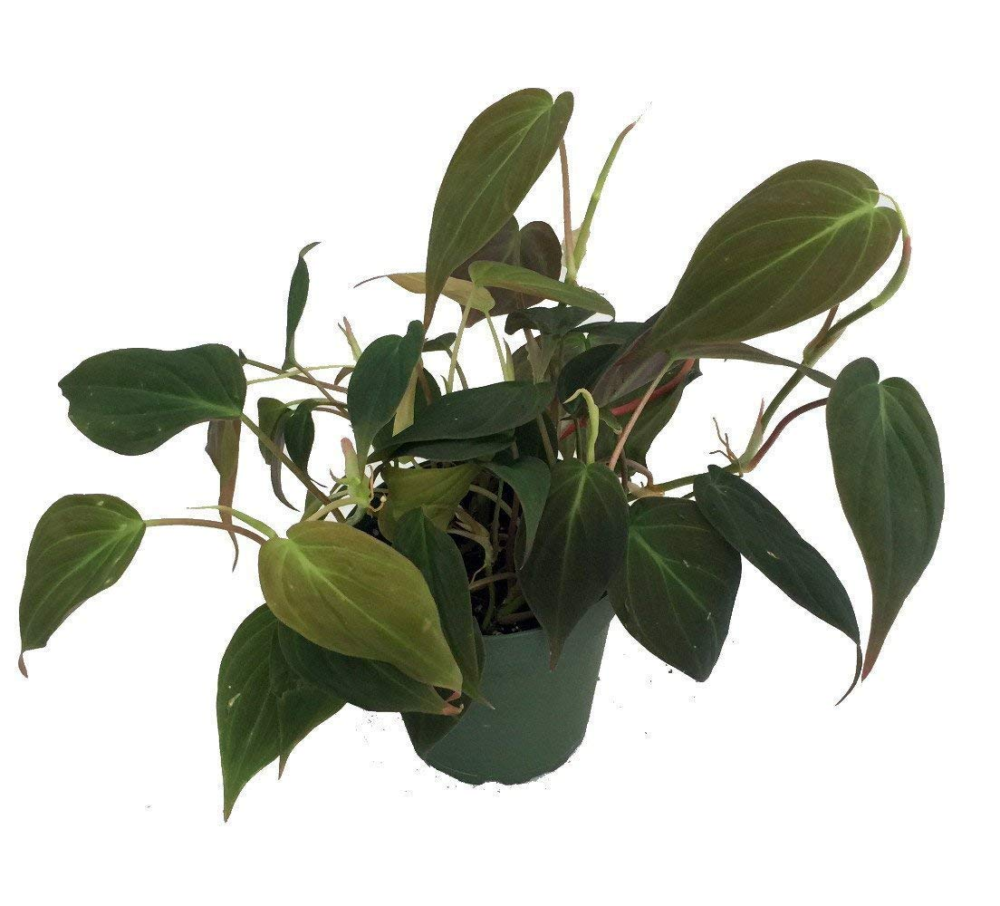 Rare Velvet Leaf Bronze Micans Vine - Philodendron - Easy to grow - 4''pot by Hirt's Gardens