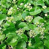 Gotu Kola Seeds (Hydrocotyl asiatica) 50+ Rare Medicinal Herb Seeds