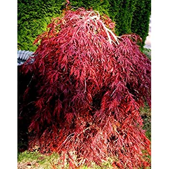 Amazoncom Crimson Queen Weeping Lace Leaf Japanese Maple Acer