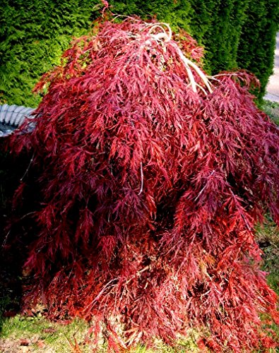 Dwarf Weeping Trees - Red Dragon Weeping Lace Leaf Japanese Maple 2 - Year Live Plant