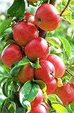 ALBERO DI MELO SUCCOSO 'ANNURCA'- pianta vera da frutto da esterno