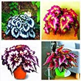 100pcs/bag begonia seeds bonsai flower seeds courtyard balcony Coleus seeds begonia plants potted for home garden mix