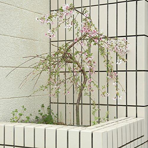 庭木:桜しだれ富士桜(一重しだれ桜) B00W3BM44Y