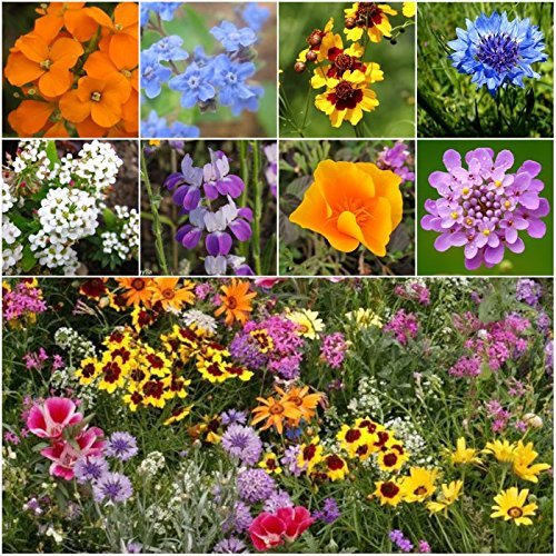 Seed Needs, Low Growing Wildflower Mixture (100% Pure Live Seed) 30,000 Seeds Open Pollinated (Cover Seeds Ground)