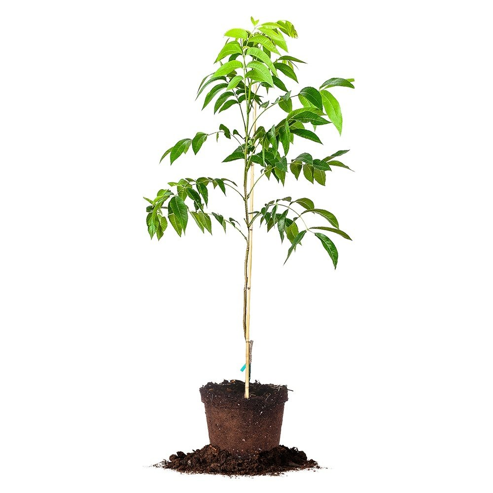 SUMNER PECAN TREE - Size: 5 Gallon, live plant, includes special blend fertilizer & planting guide