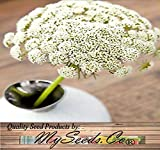 2000 x Bishop's Flower Seed - Ammi majus Seeds - For Flower ROCK Gardens - Queen Anne's Lace - Zone 3-9 - By MySeeds.Co