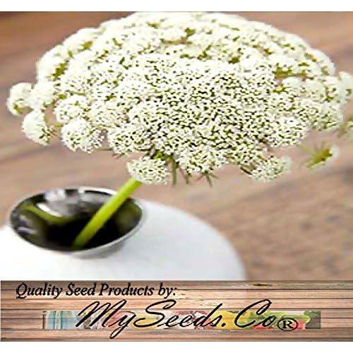 1oz (40,000+ seeds) Ammi majus - Bishop's Flower Seeds - Queen Anne's Lace - Flower And ROCK Gardens
