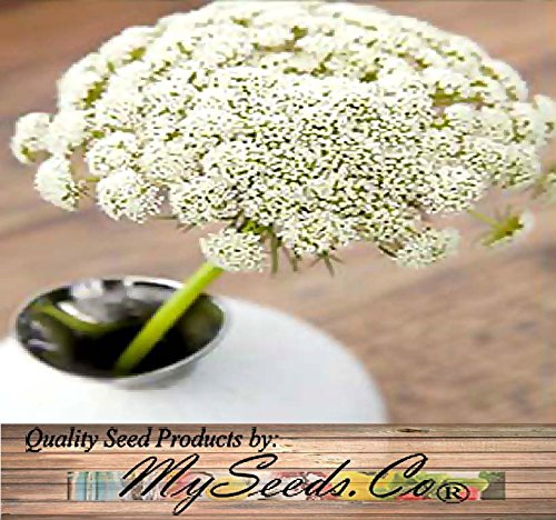 BIG PACK - Queen Anne's Lace (40,000+ seeds) Ammi majus Wildflower Seeds, 1-Ounce Flower And ROCK Gardens - Flower Seeds By MySeeds.Co (Queen Lace Annes)