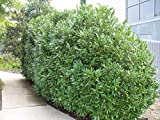 25 Schip Laurel Shrub - hedge Prunus Laurocerasus Schipkaensis